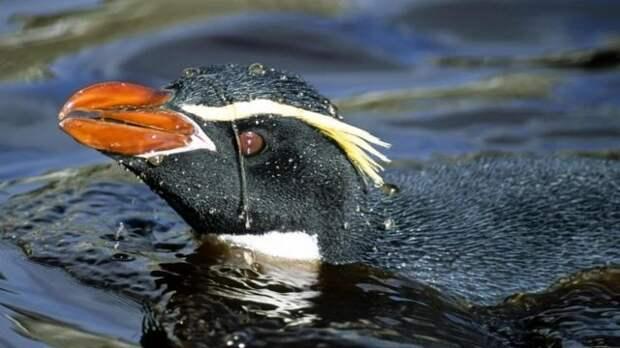 Снарський пінгвін