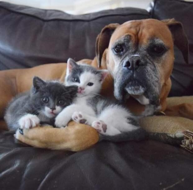 Эта собака – лучший друг для котят