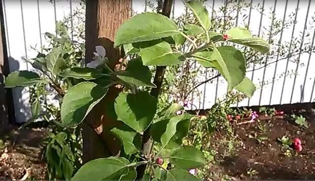 Яблоня зацвела в августе! Что делать?
