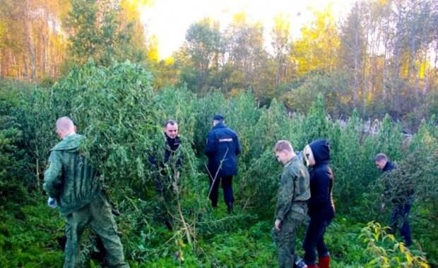 В Подмосковье полицейские уничтожили почти 13 гектаров конопли