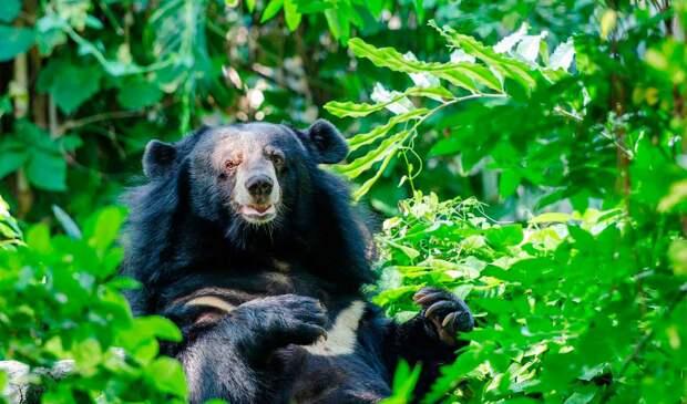 Белогрудый медведь чаще всего активен ночью
