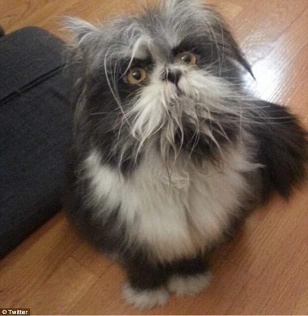 Сам же хозяин Атчума признал, что его питомец - персидский кот, страдающий гипертрихозом животное, кот, собака, спор