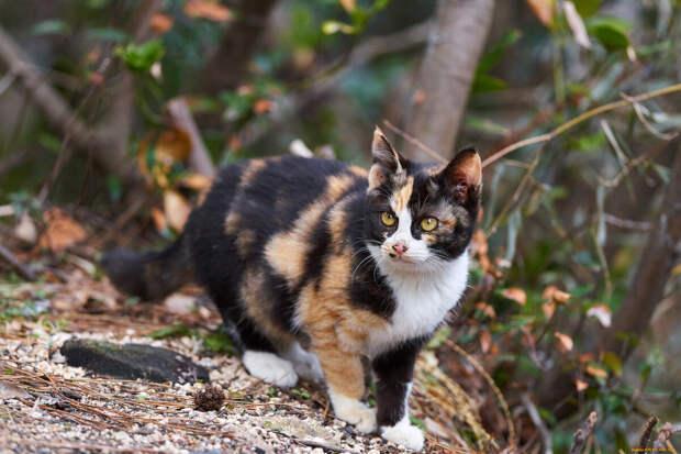 Рисунок на шубке трехцветных кошек всегда уникален (фото Яндекс.Картинки)