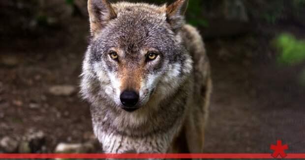 Волки снова нападают на крымчан