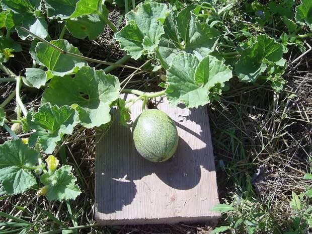Дыня: особенности посадки, выращивания и ухода в открытом грунте