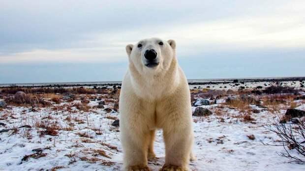 Белый медведь обитает в арктических пустынях