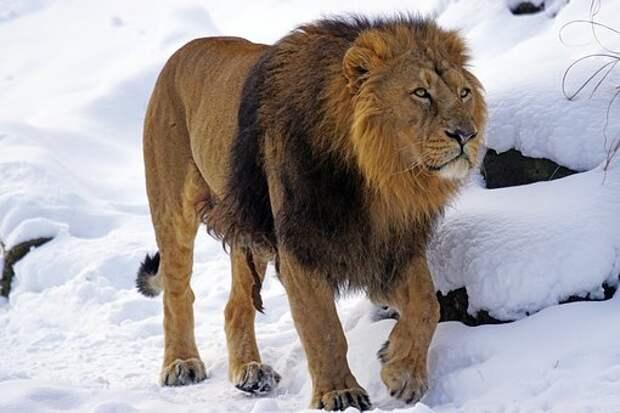 Лев, Мужчины, Индийская, Хищник, Кошка
