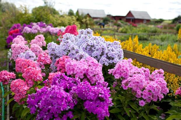Наиболее популярные многолетники долгого цветения