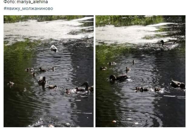 Фото дня: молжаниновские утки