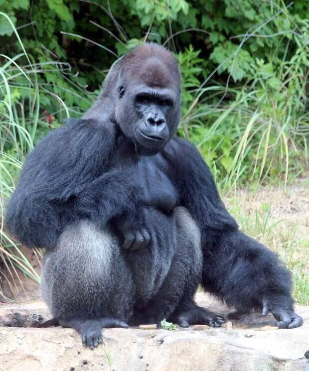 Фото 200-кг гориллы, которую проверяют на COVID-19, поразили пользователей соцсетей