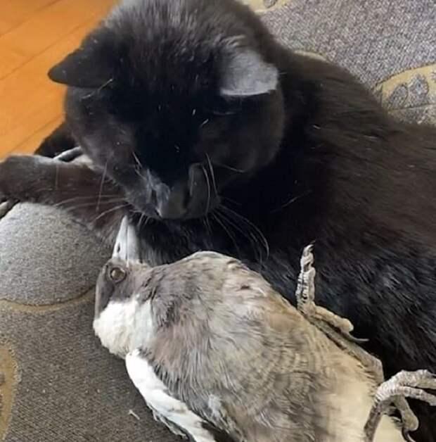 Мужчина спас сороку, но очень боялся, что его питомец не примет птицу и захочет ею полакомиться