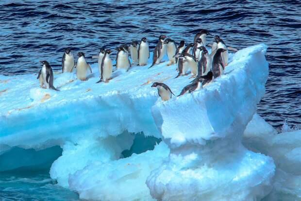 Учёные: Пингвины предпочитают пожирать сексуально возбуждённых медуз