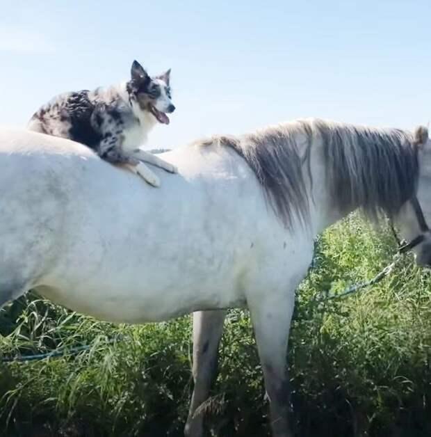 Австралийская овчарка Робин катается на лошадях и держится в седле увереннее многих ездоков