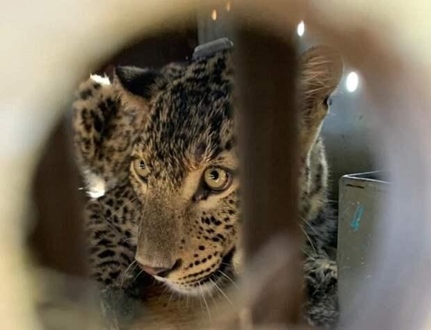 Минприроды назвал причину гибели двух леопардов на Кавказе