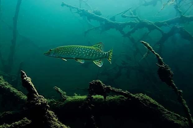 В таких условиях в воде кислорода становится совсем немного, и щука не выдерживает.