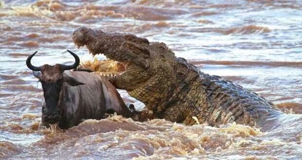 Нильский крокодил: От его шкуры отлетают пули. Он — совершенный хищник №1 (11 фото + 1 гиф)
