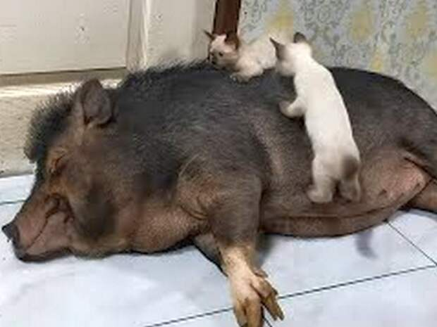 Видео с котятами, оседлавшими свинью, набирает популярность