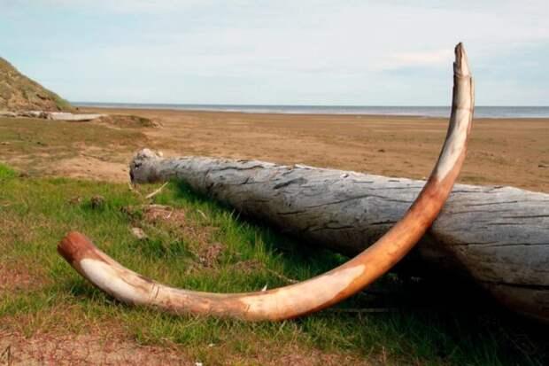 Зачем в Якутии хотят возродить мамонтов?