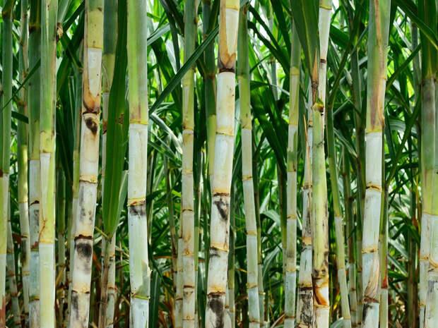 Тростник – гигантский злак