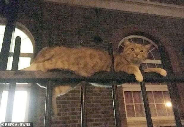 Имбирный кот использовал одну из своих девяти жизней после падения на металлическую ограду в Лондоне животные, застряли, смешно, спасение, чудесные истории