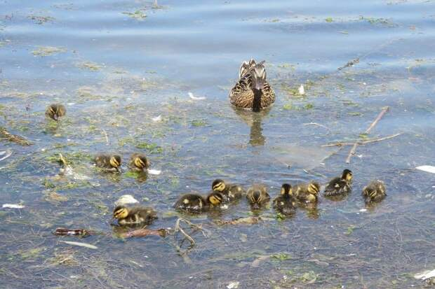В Севастополе лебедь-шипун «терроризирует» многодетную семью кряквы