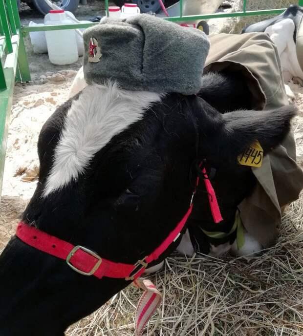 Корова в воинской части