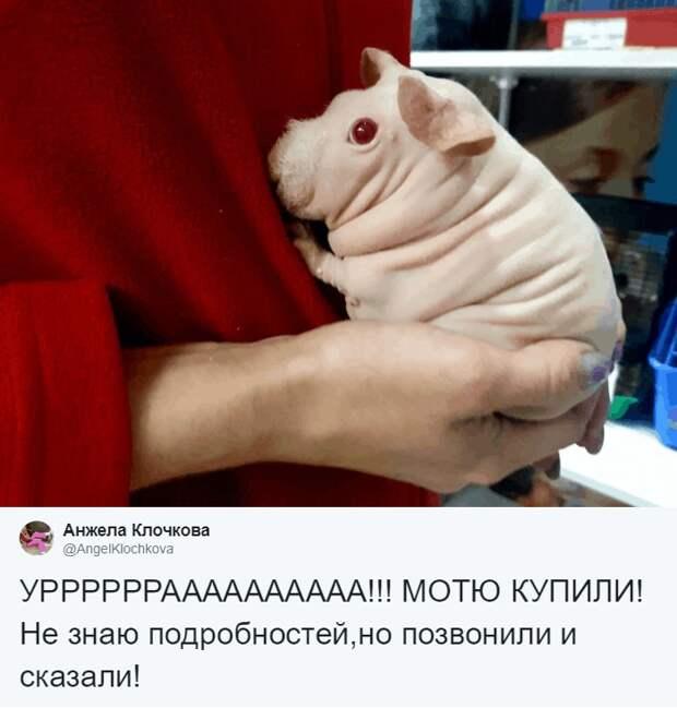 Но надежды на доброту человечества оправдались, ведь 1 мая Моня-Мотя нашла свой дом! в мире, животные, зоомагазин, люди, милота, морская свинка, реакция