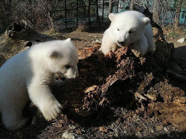 Медвежатам из геленджикского Сафари-парка выбрали имена