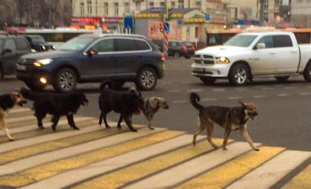 Почему бездомные собаки переходят дорогу по зебре и светофору?