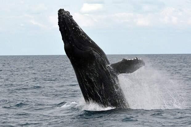 Дайвер в США выжил после того, как его проглотил кит