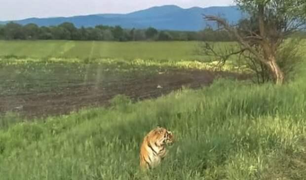 На«клубничного» тигра изПриморья откроют охоту