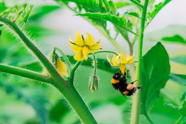 пчела на томате