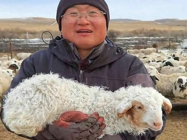 Овца научилась ходить по-человечески