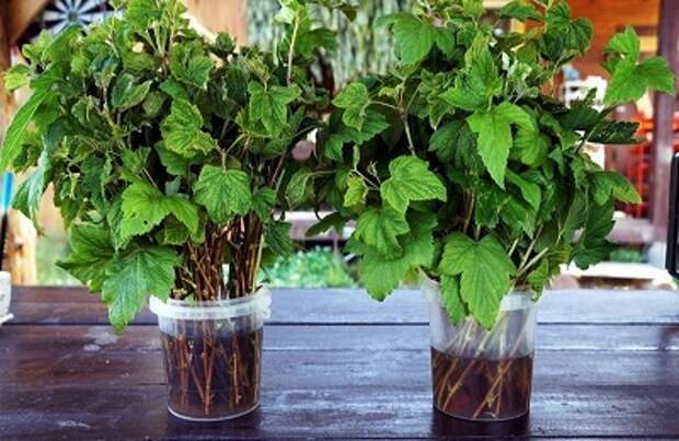 Выращивание смородины на штамбе