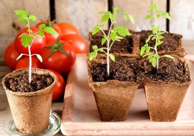 Выращиваем качественную рассаду помидор