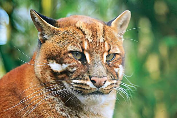 Темминка: 6 интересных фактов о «золотистой кошке»