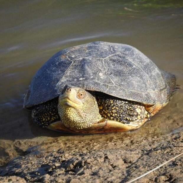 Болотные черепахи появились в Урале