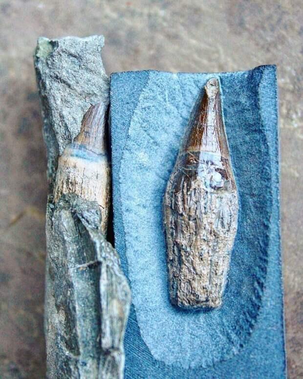 Зубы ихтиозавра - юрский период. интересно, наука, находки, палеонтология