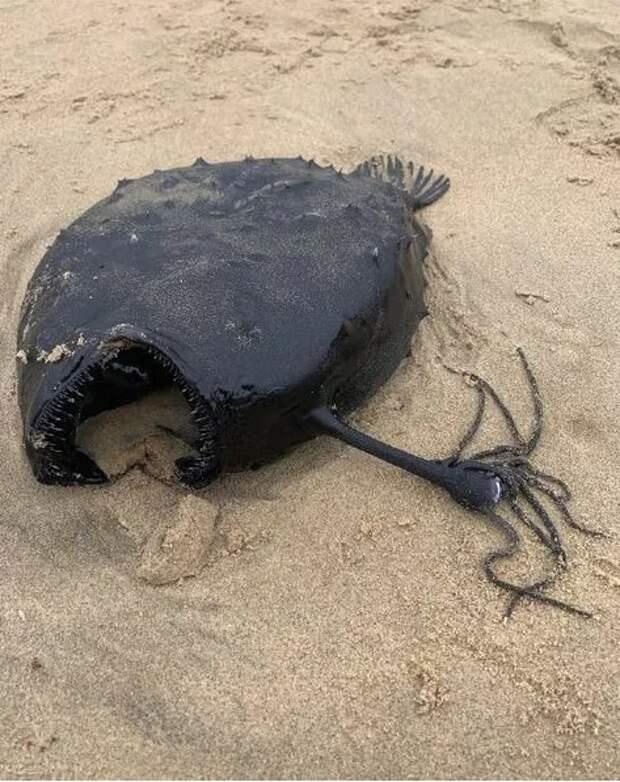 В США по неизвестной причине выбросилась на берег глубоководная рыба