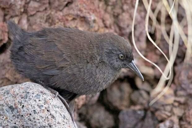 Тристанский пастушок птицы, уникальная живность, факты, фауна