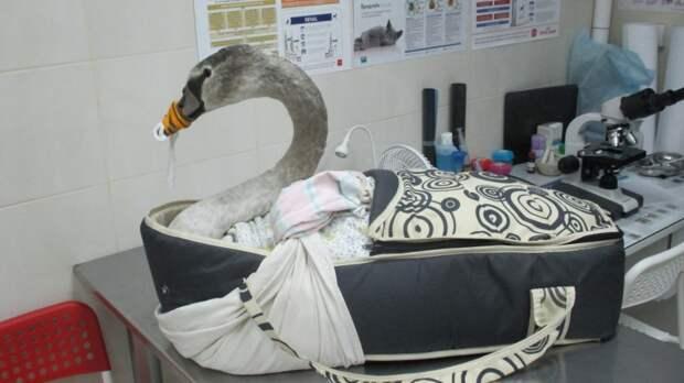 В Калининградской области спасли молодого ослабевшего лебедя