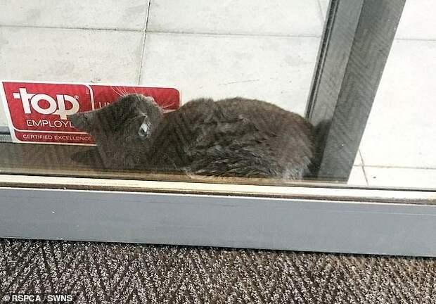 Кот Ленни был найден персоналом отеля Premier Inn в Лутоне. Пушистый котик каким-то образом сумел застрять между двумя электрическими дверями, но, к счастью, был спасен офицером по сбору животных Кейт Райт животные, застряли, смешно, спасение, чудесные истории