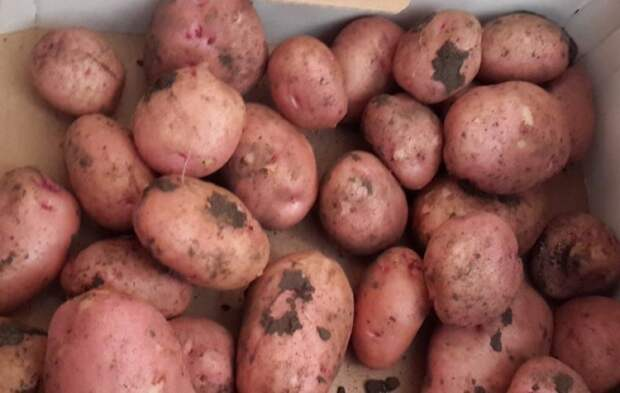 5 лучших ультраскороспелых сортов картофеля