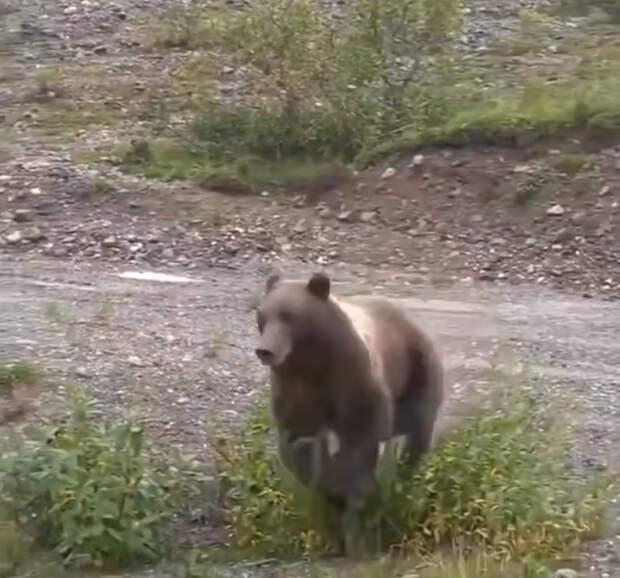 Некоторые критикуют медведей и «Единую Россию» за неповоротливость ...
