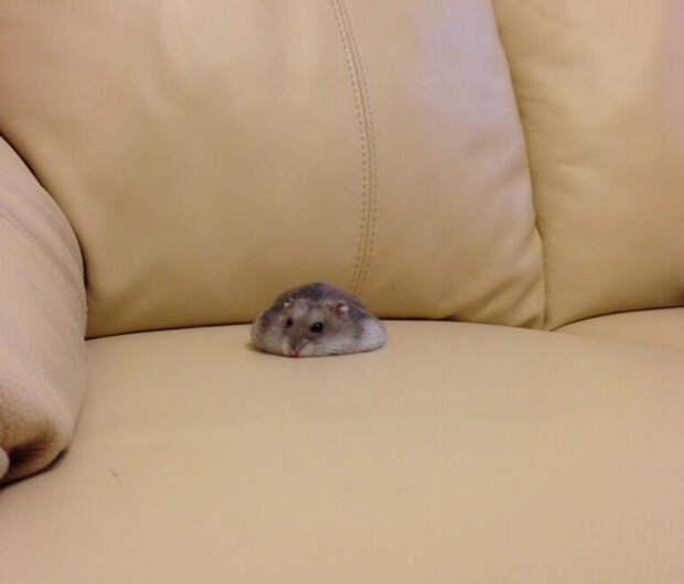 Кажется, этого хомяка не положили, а пролили на диван животные, расслабленность, смешно, фото