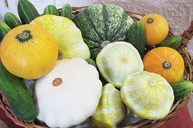 Правильный патиссон. Как вырастить плоды, подходящие для консервирования?