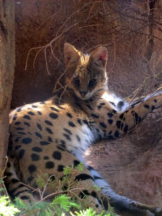 КОШКИН ДОМ. Африканская кошка сервал