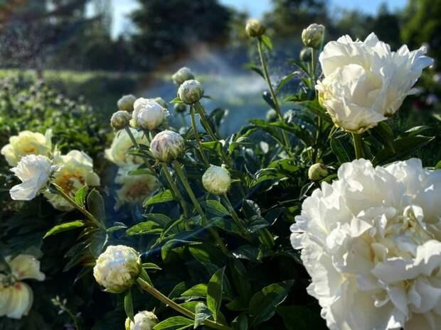 В ботаническом саду Симферополя началось массовое цветение пионов