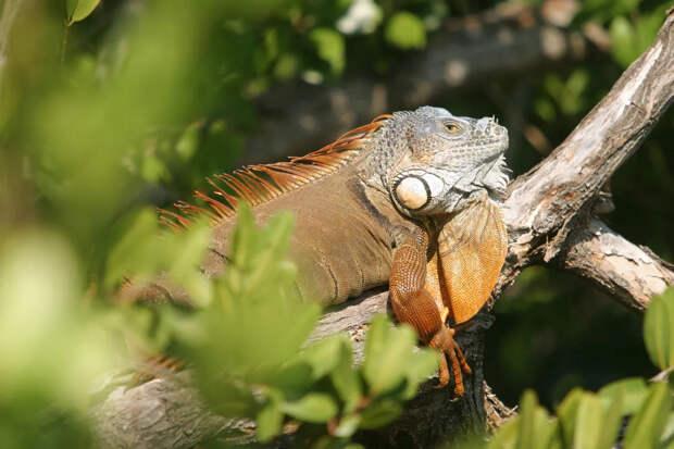 Жителей Флориды предупредили о дождях из игуан