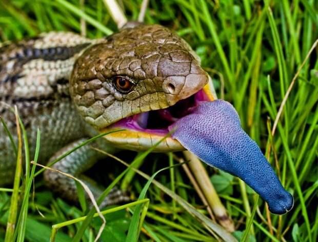 Маленькие драконы нашей планеты интересное, рептилии, ящерицы